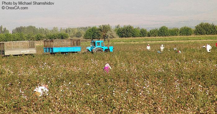 Uzbekistan cotton