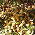 Quince — Узбекские фрукты. Айва