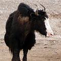 Pamir yaks.  Xinjiang highway