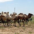Camels in Nurata