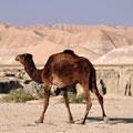 Turkmen camels