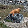 Marmot — Сурок