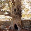 The old Nokhur plane tree — Старая нохурская чинара