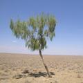 Saxaul. Kizil-Kum desert