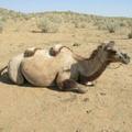 Camel. Kizil-Kum desert