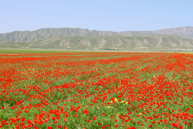 Poppy Field, Kazakhstan